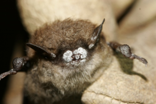 Little brown bat; close-up of nose with fungus, New York, Oct. 2008. U.S. Fish and Wildlife Photo courtesy Ryan von Linden/New York Department of Environmental Conservation