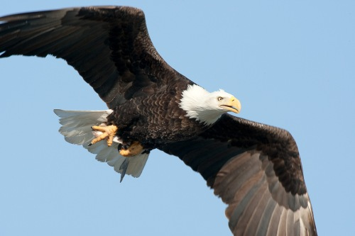 A Bald Eagle takes a flight early in a morning in searching for fish along Mississippi river in Clarksville, MO. Photo by Noppadol Paothong, courtesy Missouri Department of Conservation.