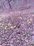 Hedge balls litter the ground.