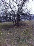 Hedge balls fallen from tree.