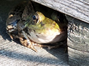 frog-803963_1280