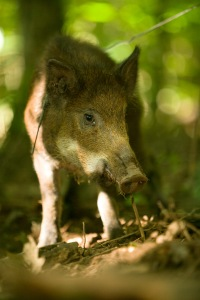 A female Feral Hog is caught on a snare in a wood near Taum Sauk Mountain in Ironton County, MO. Photo by MDC Staff, courtesy Missouri Department of Conservation.