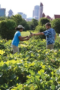 Dat Le and Joe Van Betuw harvest zucchini squash at Gateway Greening's urban farm at 2200 Pine St. in Downtown St. Louis. photo by Ursula Ruhl, Webster-Kirkwood Times.