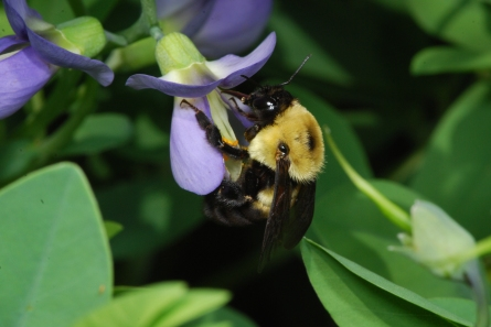 Brown belted bumble bee by Ed Spevak