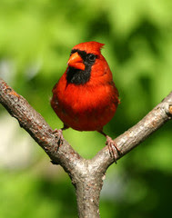 Red bird MDC