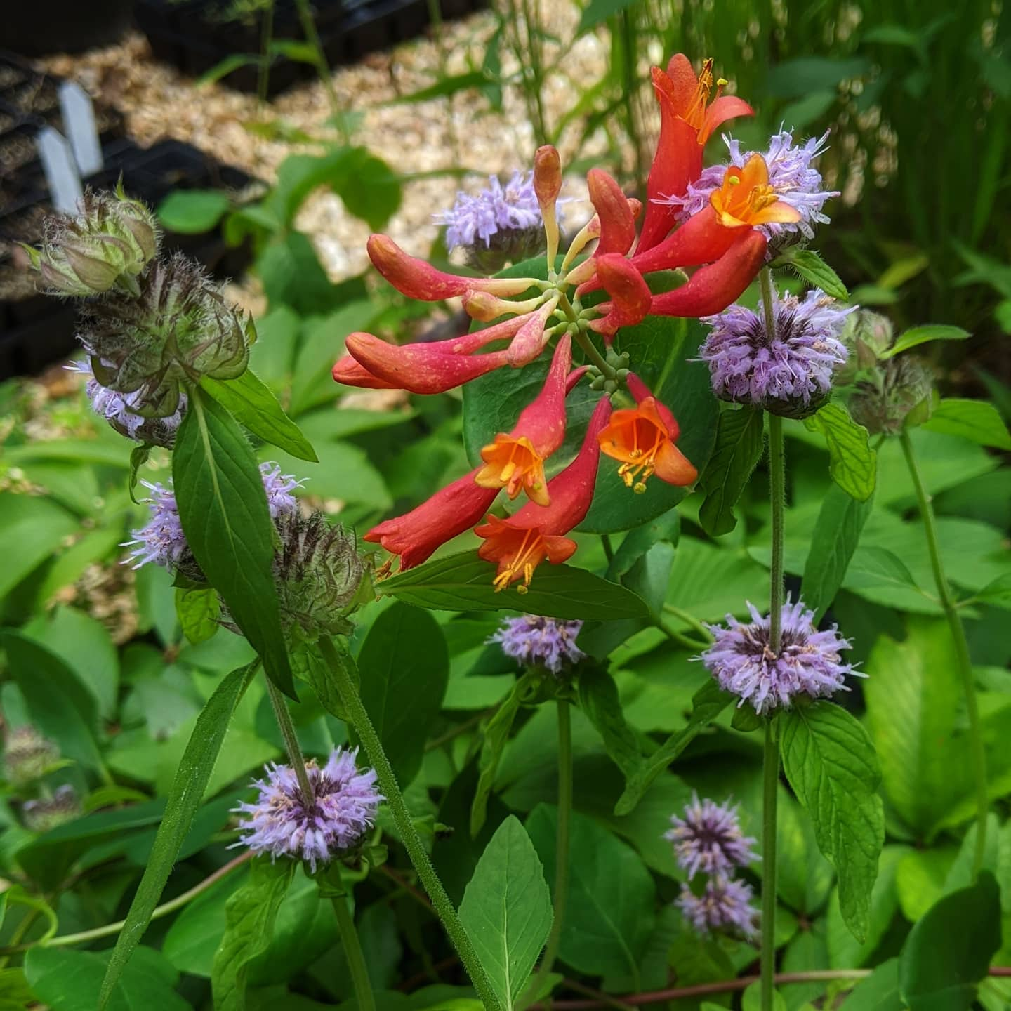 ohio horsemint and coral honeysuckle by David Middleton